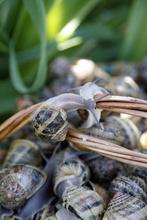 Visite des Escargots de l'Hérault