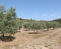 pignan - champ d'olivier